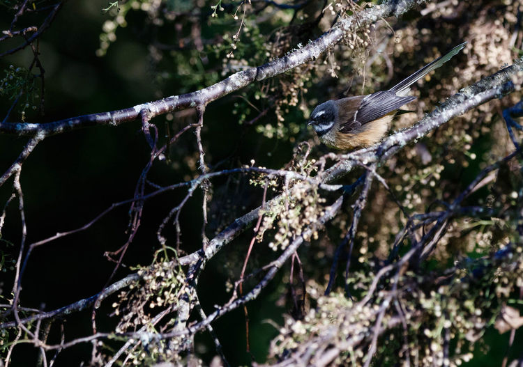 The New Zealand fantail (Rhipidura fuliginosa) is a small insectivorous bird, the only species of fantail in New Zealand. It has four subspecies: R. f. fuliginosa in the South Island, R. f. placabilis in the North Island, R. f. penita in the Chatham Islands, and the now-extinct R. f. cervina formerly on Lord Howe Island. It is also known by its Maori names, Pīwakawaka, Tīwakawaka or Piwaiwaka; the common pied morph is also known as pied fantail (not to be confused with the Malaysian or Philippine pied fantails), and the uncommon dark morph is also known as black fantail (not to be confused with the black fantail of New Guinea). https://en.wikipedia.org/wiki/New_Zealand_fantail Tree Branch Bird Perching Beauty In Nature Fantail Nature EyeEm Nature Lover