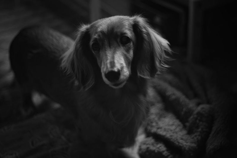 Capture The Moment Animal Themes One Animal Portrait Domestic Animals Animals Dachshund Light And Shadow Darkness And Light Always Be Cozy Black And White Mammal Depth Of Field Tranquil Scene Fine Art Snapshots Of Life Dog KAWAII Indoors  Full Frame Detail Oldlens Pancolar EyeEm Best Shots 16_12 Pet Portraits