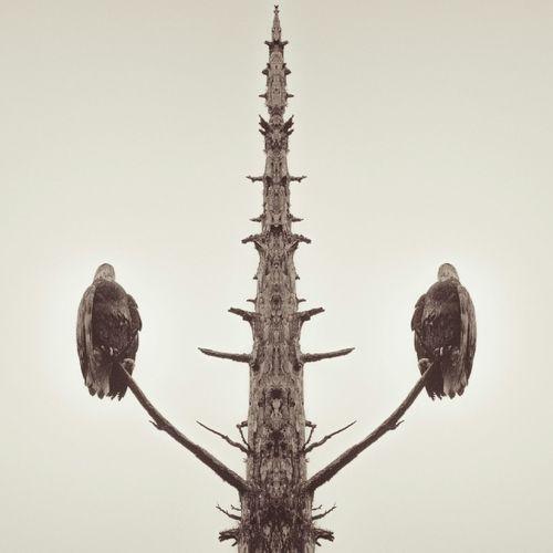 Eagle Portrait Sepia Album Cover Nature No People Eerie Bald Eagle Faceless Faceless Portrait Quotes Mirrored