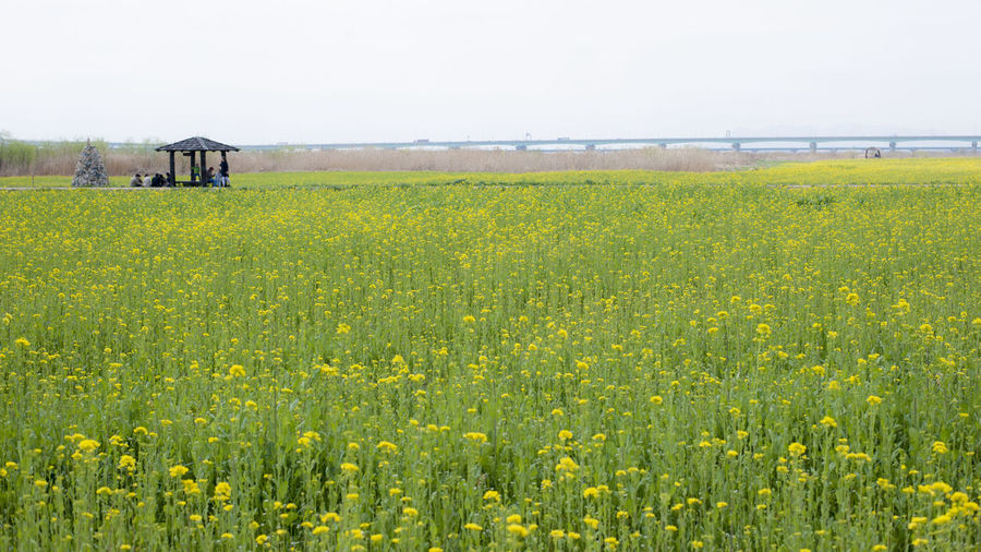 Beauty In Nature Bright Day Field Flower Growth Nature Non-urban Scene Outdoors Plant Tranquility Tranquility Yellow