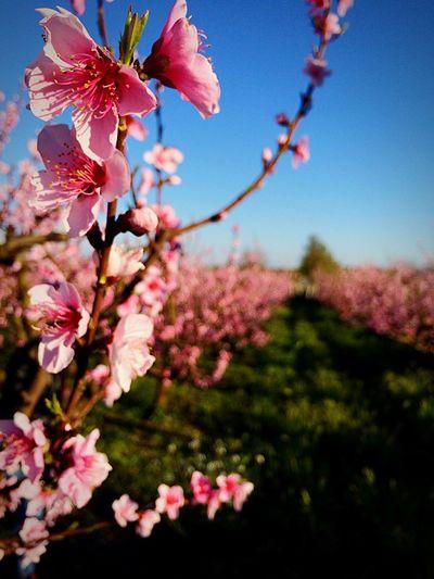 Fiori rosa, fiori di pesco... Cit. Licio Battisti Flowers