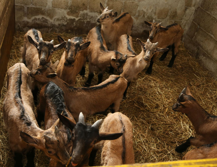 young newborn Kid in the straw with the soft coat and blue colored ribbon Farm Goat Goats Kids Animal Themes Animals Domestic Animals Kid Large Group Of Animals Livestock Mammal Newborn No People Ovine Young Adult