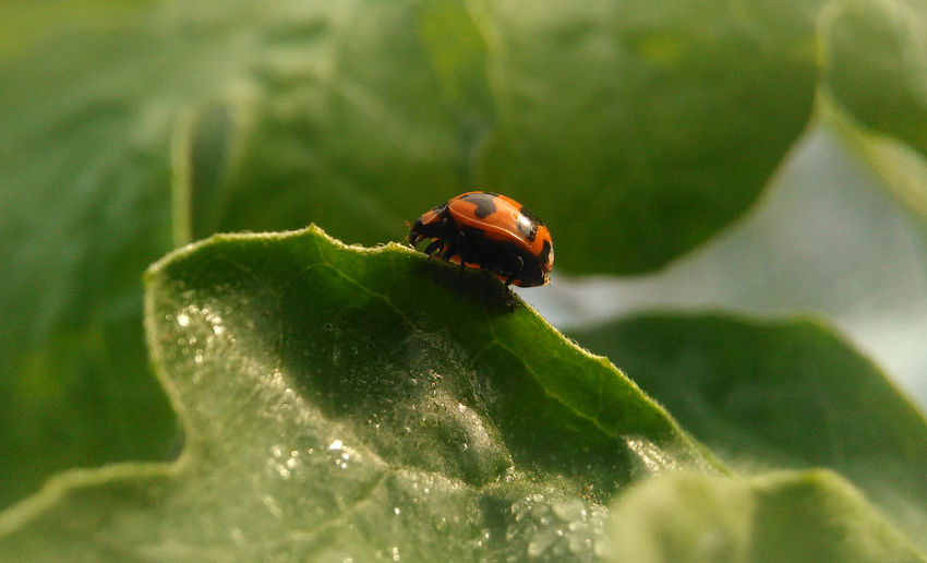 Walking on Ladybug Animal Themes Animal Wildlife Animals In The Wild Beauty In Nature Close-up Day Fragility Green Color Growth Insect Ladybug Leaf Nature No People One Animal Outdoors Plant