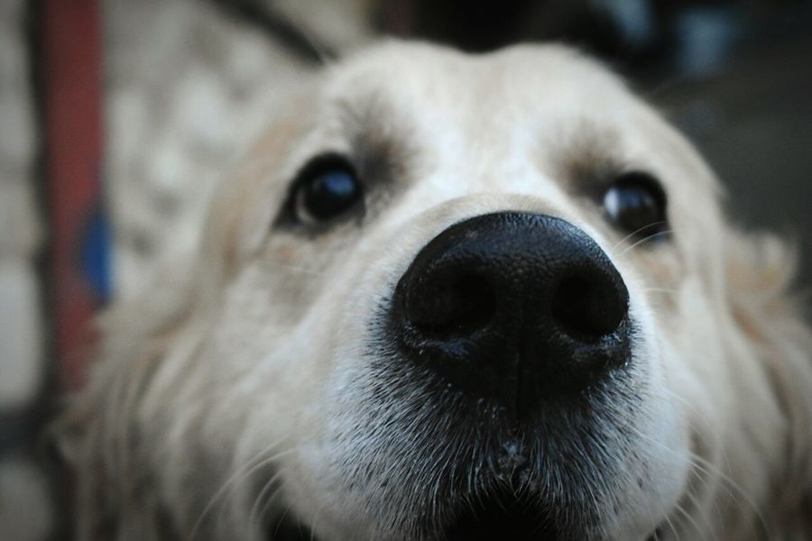 Dog Pets One Animal Animal Head  Looking At Camera Close-up No People Dog Nose Best Dog Nose Animal Eyes EyeEmNewHere
