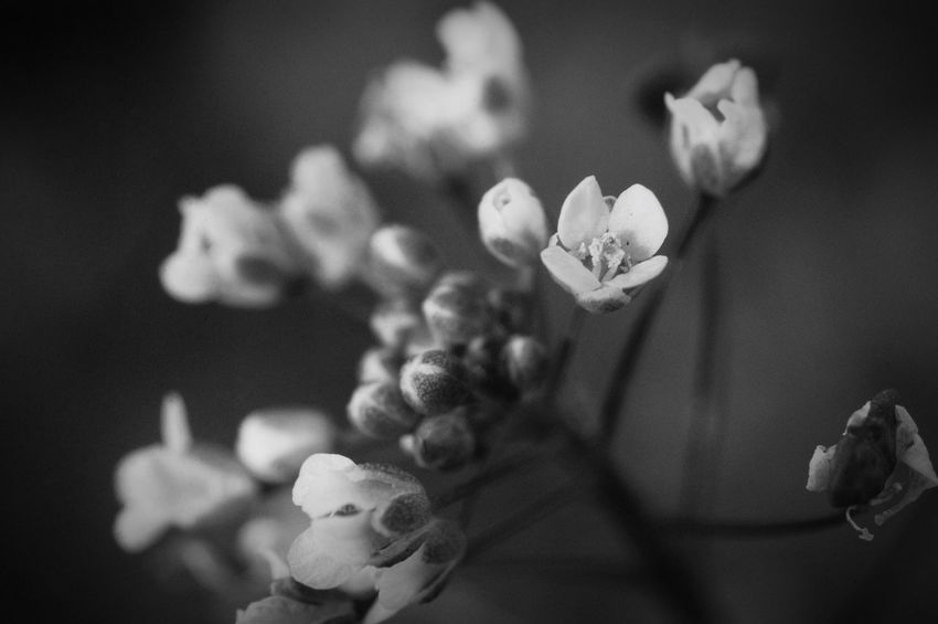 何時でも咲ける。何処でも咲ける。 Flower Fragility Beauty In Nature Nature Flower Head Close-up Monochrome なずな ぺんぺん草