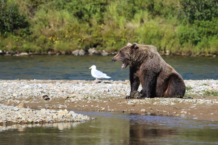 Side view of bear on riverbank
