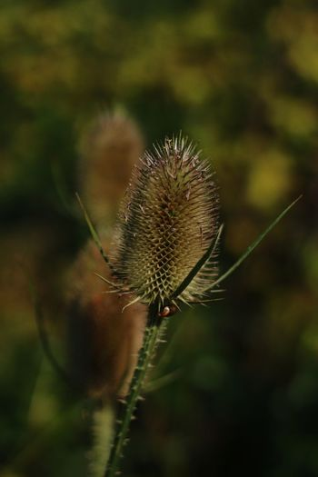 Plant Flower Head Bokeh Photography Bokeh Botany Nature_collection Thistle Flower Insect Close-up Plant