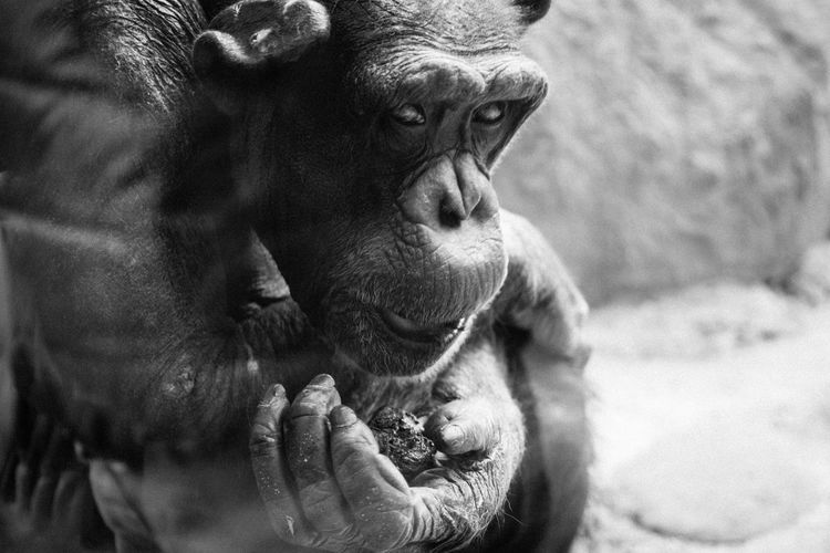Animals Black And White Close Up Gorilla Greyscale Taronga Zoo  Zoo Zoo Animals