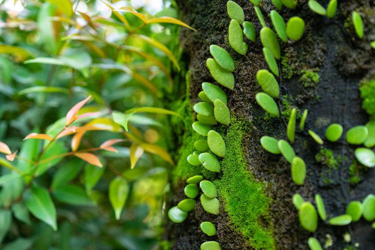 green ivy dave
