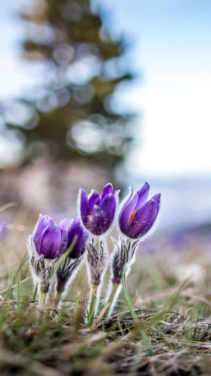 Plant Flower Flowering Plant Close-up Selective Focus Vulnerability  Growth Nature Fragility Beauty In Nature Freshness Purple Land No People Field Day Inflorescence Flower Head Focus On Foreground Outdoors Iris Crocus Springtime Backgrounds