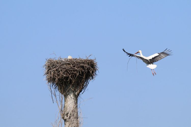 Low Angle View Of Stork Flying By Nest Against Clear Blue Sky