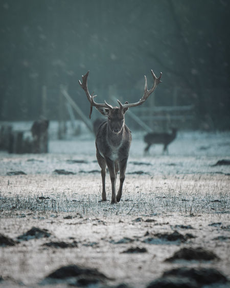 Deer standing on ground during winter