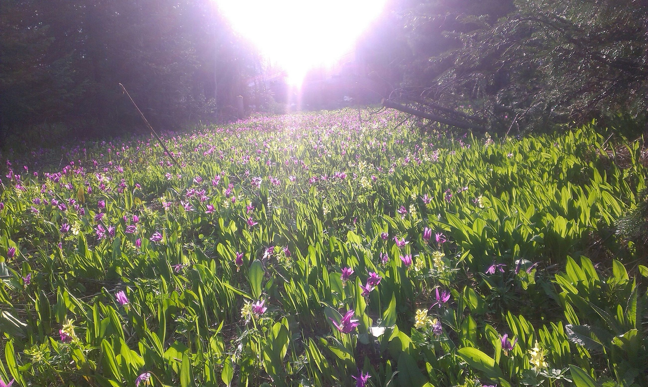 flower, growth, freshness, beauty in nature, plant, fragility, nature, sunlight, blooming, sunbeam, lens flare, petal, field, tranquility, sun, in bloom, outdoors, day, no people, green color