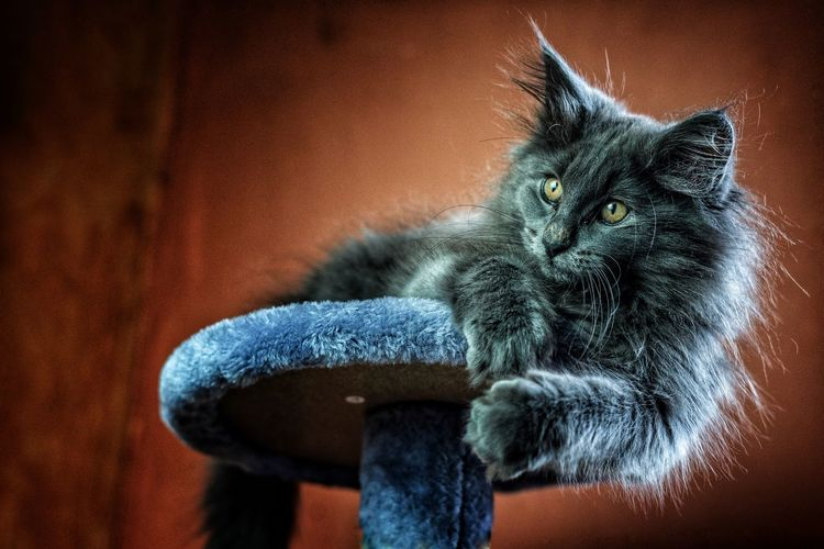 Onyx fluffy... Pets Domestic Cat Close-up Cat Feline Textured  Yellow Eyes Animal Head  Kitten Animal Eye