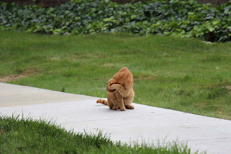 Ginger Cat Grooming On Walkway Amidst Field