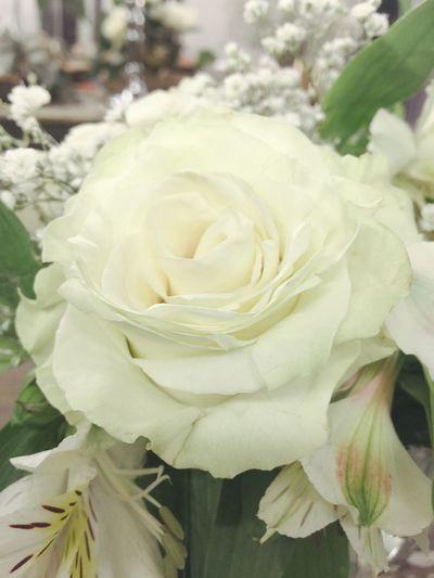 Rosa Blanca Flower Petal Rose - Flower Nature Flower Head
