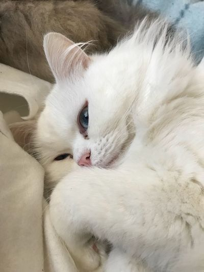 Dolci riposini... EyeEm Selects Pets Domestic Cat Domestic Animals Mammal One Animal Animal Themes White Color Feline Indoors  Whisker Looking At Camera Portrait Close-up No People Persian Cat  Day My Best Photo