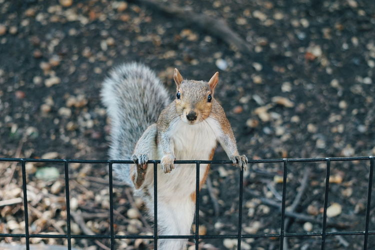 squirrel looking in to the camera Squirell Squirrels Squirrel Photo Park NYC NYC Photography New York New York City Animal Themes EyeEm Selects Winter Cold Temperature Snow Portrait Looking At Camera Close-up Animal Eye Animals In Captivity Animal Ear