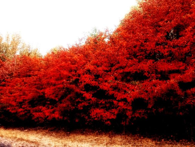 Autumn Red Tree Change Nature Outdoors No People Growth Leaf Day Scenics Beauty In Nature Tranquility Sky