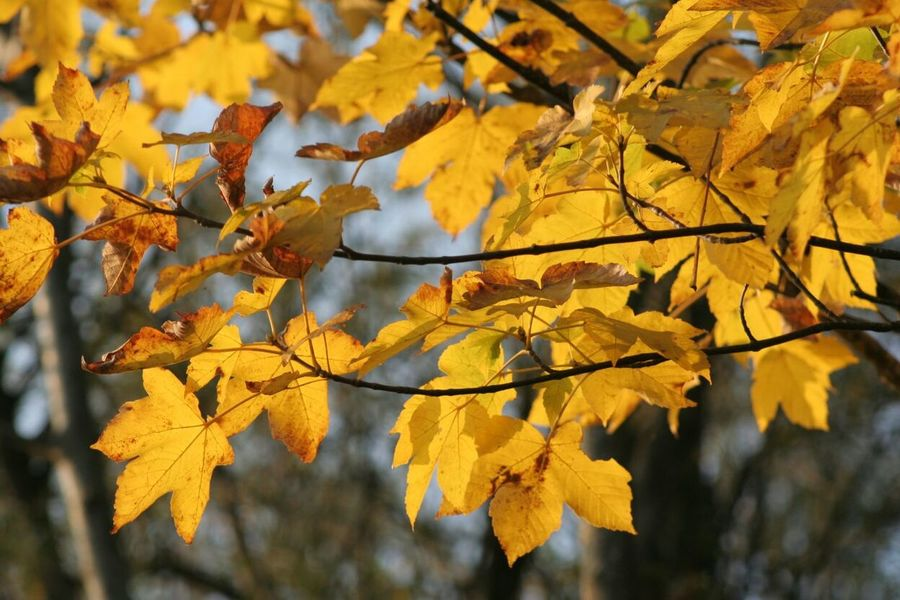 Leaf Nature Yellow Tree Day Beauty In Nature 🍁Fall Is In The Air🍃 🍁Leaves🍂 Atumn Colors 🍁🍂autumn Paint The Town Yellow Perspectives On Nature A New Beginning