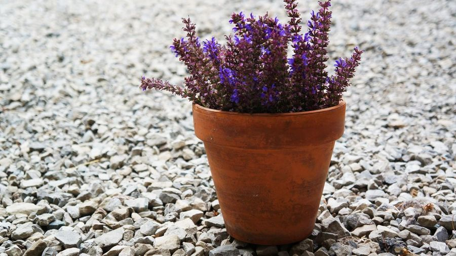 Beauty In Nature Close-up Day Flower Flower Pot Flowering Plant Focus On Foreground Fragility Freshness Gardening Gravel Growth Lavender Nature No People Outdoors Pebble Plant Potted Plant Purple Rock Rock - Object Solid Stone - Object Vulnerability