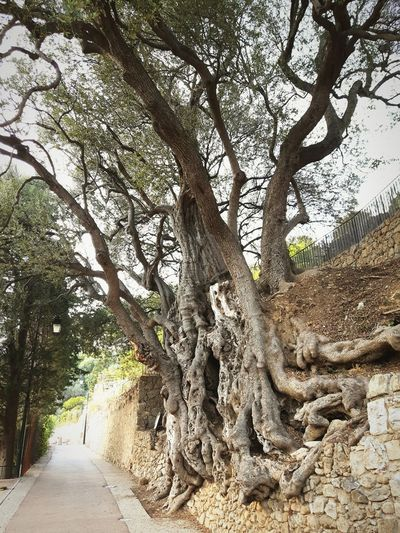 Millenary olive tree Tree Tree Trunk Tranquil Scene Nature Beauty In Nature Outdoors Day Millenary Olive Tree Roman Age France Côte D'Azur Roquebrune Amazing Sacred Life Long Lasting Respect EyeEm Nature Lover EyeEm Gallery Eyeemphotography Mediterranean