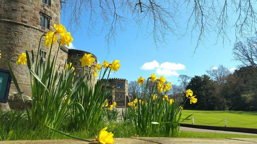 Skipton Skipton Castle Yorkshire Blue Sky And Trees Daffodils Blue Sky Castle Through My Eyes Eyeemphotography EyeEm Flower