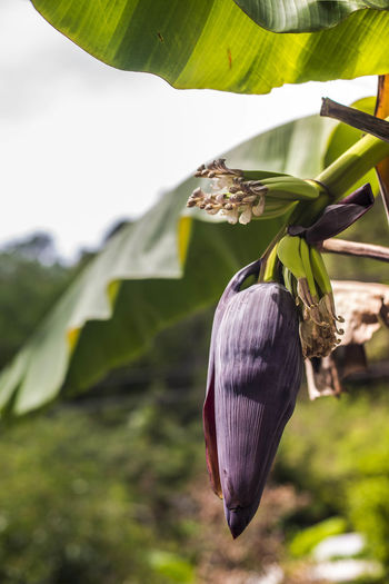 bananas growing Banana Beauty In Nature Blossom Botanical Close-up Day Growing Growth Little Banana Nature No People Outdoors Tree Tropical