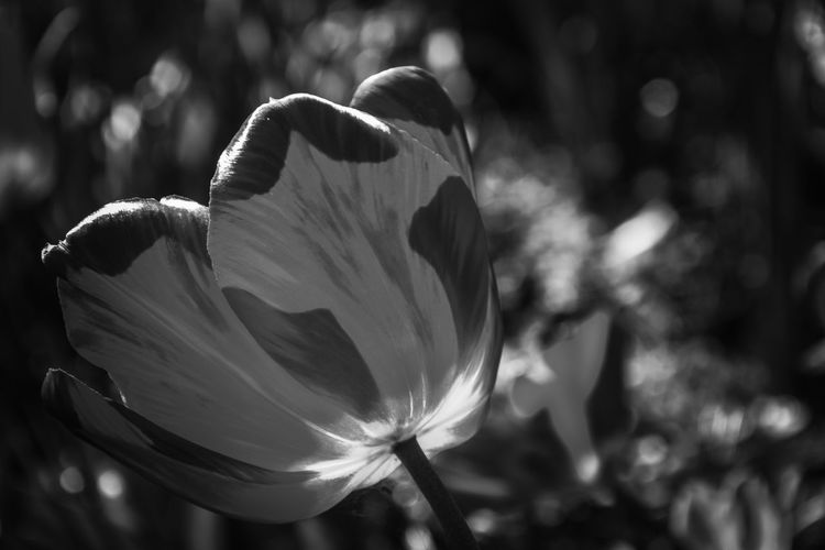 🌷 Bnw Blackandwhite EyeEm Selects EyeEm Best Shots EyeEm EyeEm Nature Lover EyeEm Masterclass Monochrome Backgrounds Exceptional Photographs Popular Photos Power In Nature Flower EyeEm Gallery Taking Photos Growth Nature_collection Selective Focus No People Flower Head Flower Petal Close-up Plant Tulip Botany Blossom Plant Life Blooming Fragility