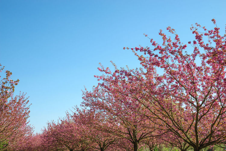 japanese cherry blossoms in full bloom Tree Plant Sky Low Angle View Growth Beauty In Nature Flower Clear Sky Flowering Plant Nature Branch Pink Color Blossom Day Fragility Springtime Blue No People Freshness Copy Space Cherry Blossom Outdoors Cherry Tree Berlin City Park Cherry Blossom Cherry Blossoms Japanese Cherry Blossoms Japanese Cherry Blossom Tree