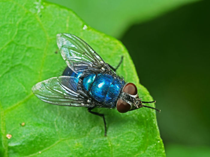 Macro Photography of Blue Bottle Fly on Green Leaf Arthropod Beautiful Blowfly BlueBottle Bug Healthcare Natural Animal Animal Wildlife Animal Wing Animals In The Wild Blue Bottle Fly Bottlebee Calliphora Vomitoria Carrier Close-up Fauna Fly Housefly Insect Invertebrate Leaf Nature Pest Wildlife