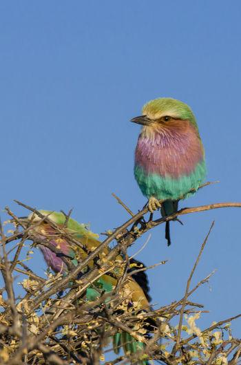 Nature Etosha National Park Etosha Namibia African Wildlife Africa Animal Liliac Breasted Roller Roller