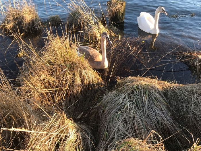 Water Nature Lake No People Animals In The Wild Sunlight Animal Wildlife Animal Themes Group Of Animals Day Animal Beauty In Nature High Angle View Outdoors Vertebrate White Color Swan Reflection
