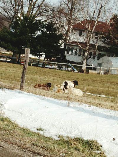 Sheep Watching Traffic