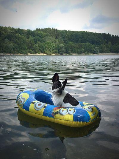 Water Sky Pets Nautical Vessel Lake Dog Frenchbulldog French Bulldog Französische Bulldogge  French Bulldog In Boat Französische Bulldogge In Gummiboot Minions Minion Love Minions ♥♥ Awwwwww!!!!!!!!  Awww So Cute <3 Hunde Sommergefühle Hund Dogs Of EyeEm Rubber Boat Dog In Rubber Boat Gummiboot Swimming