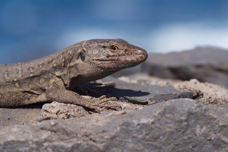 Animals In The Wild Gallotia Galloti Kanarieneidechse Nature One Animal Outdoors Portrait Reptile Tenerife Lizard Wildlife