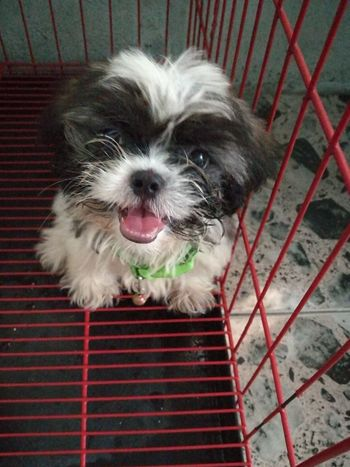 Dog Cute Shihtzu Mans Best Friend Pet Portraits