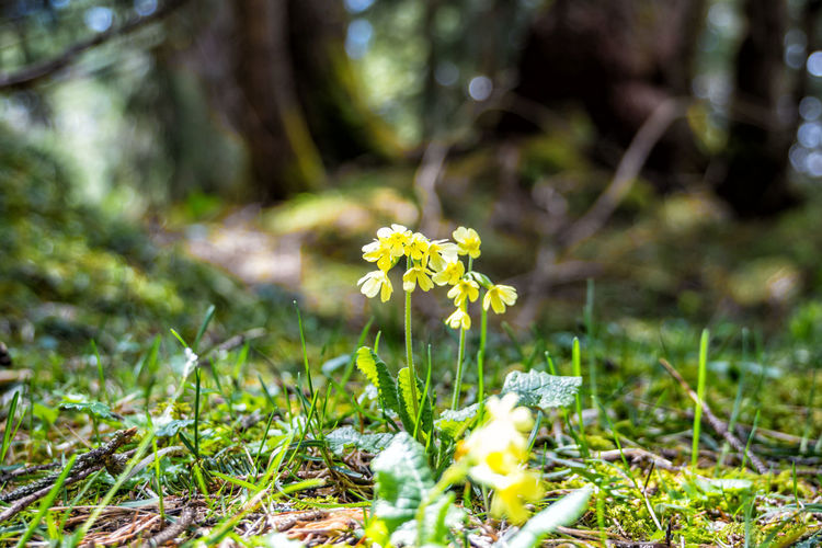 Primula elatior in the forest Plant Flower Flowering Plant Growth Freshness Land Fragility Beauty In Nature Vulnerability  Field Green Color Nature Selective Focus Day Grass Close-up Yellow No People Tranquility Outdoors Flower Head Springtime Oxlip True Oxlip Primula Trees Alps Tyrol Austria