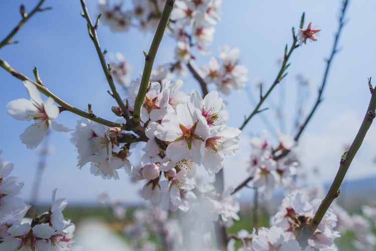 Flowering Plant Flower Plant Fragility Beauty In Nature Growth Freshness Vulnerability  Tree Petal Branch Blossom Springtime Cherry Blossom Day Nature Close-up Twig No People White Color Flower Head Cherry Tree Outdoors Pollen Spring