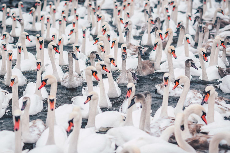 White army Animal Themes Animals In The Wild Bird Birds Day Large Group Of Animals Nature Outdoors Swan Water White