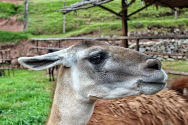 portrait of alpaca. Llama Alpaca Field Agriculture Close-up Livestock Grass