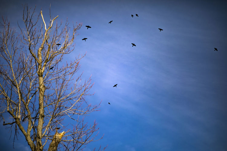 Black birds fly near a dead tree on a winter day. Animal Animal Themes Vertebrate Animal Wildlife Bird Animals In The Wild Flying Group Of Animals Sky Low Angle View Tree Blue Large Group Of Animals Bare Tree Nature Beauty In Nature No People Plant Mid-air Day Flock Of Birds Outdoors Crows Blackbird