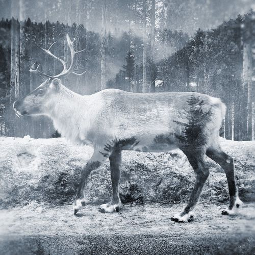 Animal Themes Nature Field No People Animals In The Wild Animal Wildlife One Animal Deer Snowing Outdoors Day Wildlife & Nature Up North North Part Of Sweden Double Exposure Blackandwhite The Great Outdoors - 2017 EyeEm Awards