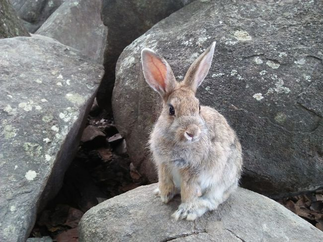 Cute rabbit One Animal Cave Close-up Looking At Camera Animal Wildlife Animal Themes Mammal No People Ear Day Animals In The Wild Portrait Nature Outdoors Zoo Animals  Rabbit - Animal Zoo Animals  Cute Rabbit ,bunny Animal Zoo Animals  Thai Rabbitrocks Zoo Animals  Rabbit Rabbit Face