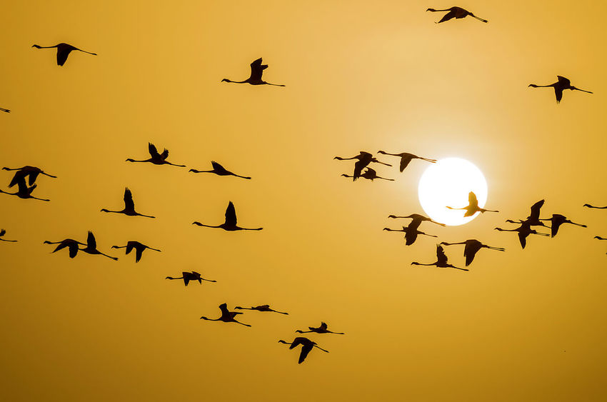 Approaching the Sun Flamingo Lesser Flamingo Silhouette Animal Animal Themes Animal Wildlife Animals In The Wild Bird Flock Of Birds Flying Group Of Animals Nature Orange Color Silhouette Spread Wings Sun Sunset