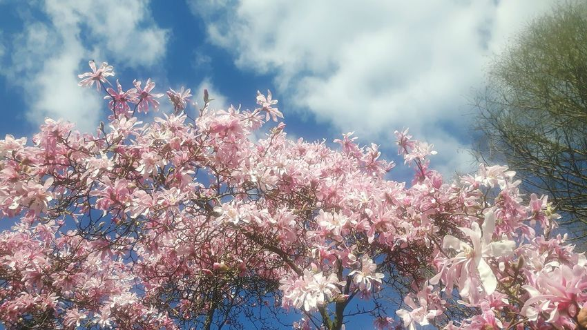 Outdoors Nature Low Angle View Beauty In Nature Tree No People Day Sky Cloud - Sky Magnolienblüte Magnolia Flower Magnolias Blooming Freshness Magnolia Loebneri Branch Magnolienknospe Flower Head Magnolia Tree Magnolia Blossom Blossom Beauty In Nature Low Angle View Celebration Tranquility Fragility