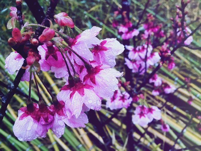 Japanese landscape... Enlight Flower Freshness Growth Nature Beauty In Nature Fragility Petal Pink Color Close-up Plant No People Day Flower Head Blooming Outdoors