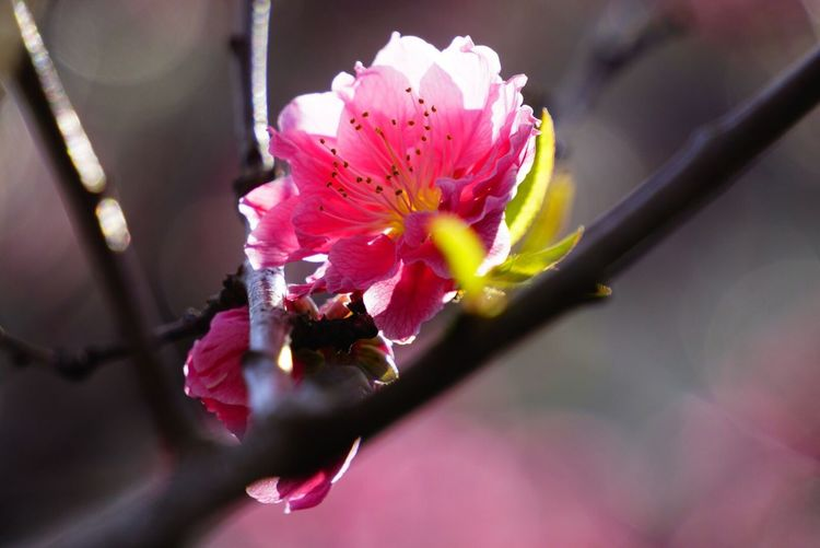 Flower Nature Fragility Petal Freshness Beauty In Nature Growth Pink Color Flower Head Close-up Stamen No People Pollen Blossom Rhododendron Outdoors Day Pistil Plum Blossom