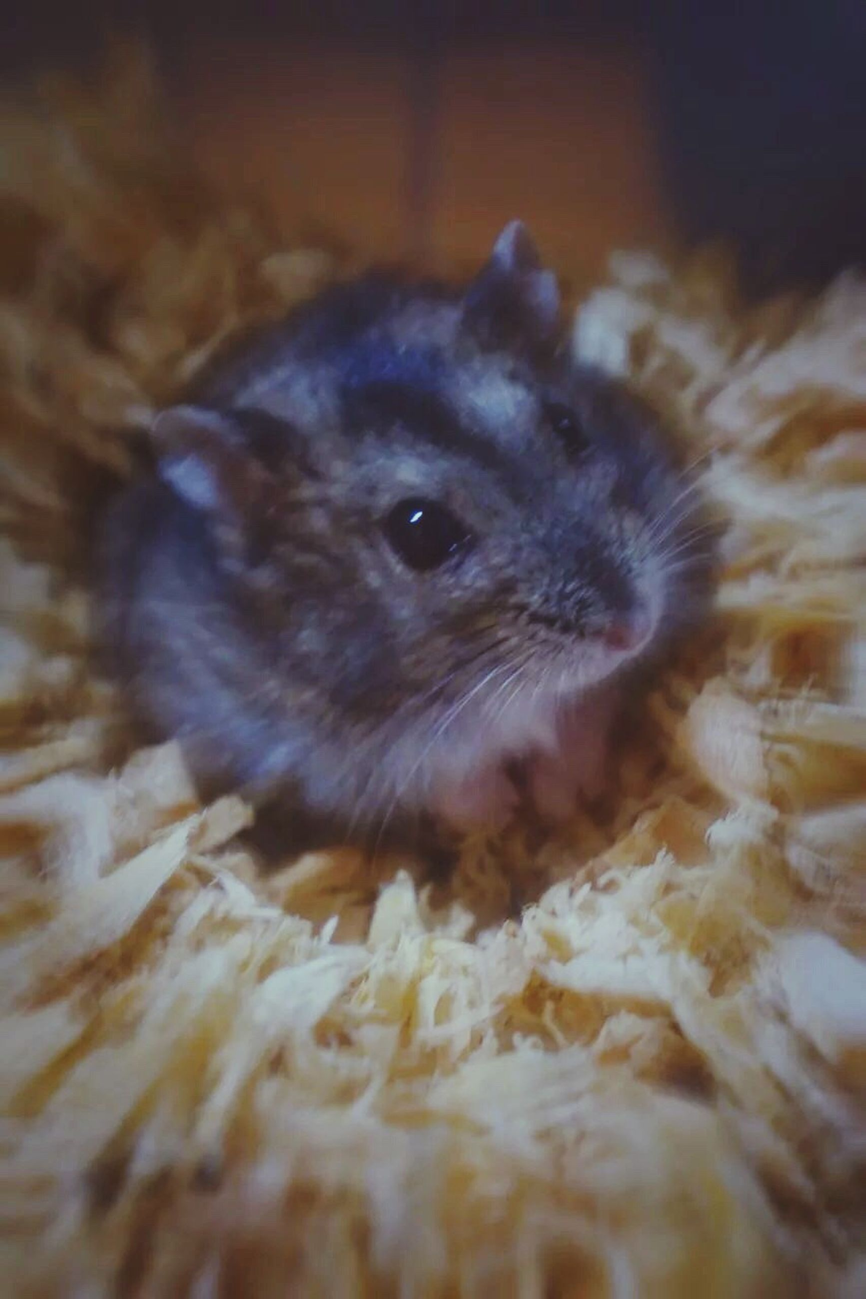 animal themes, one animal, rodent, pets, indoors, mammal, close-up, hamster, domestic animals, nature, no people, animals in the wild, day