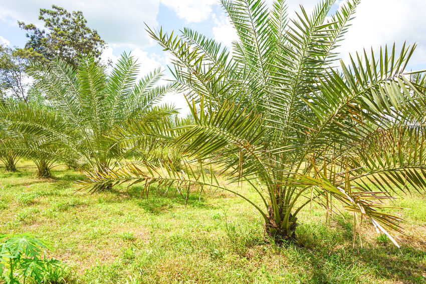 Barhi Dates Dates On Date Palm Barhi Date Palm Date Palm Garde Date Palm Tree Date Palms Growth Tropical Climate
